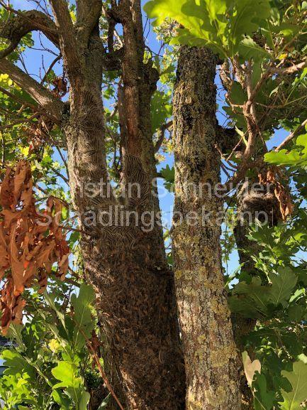 Eichen-Prozessionsspinner mit Nest