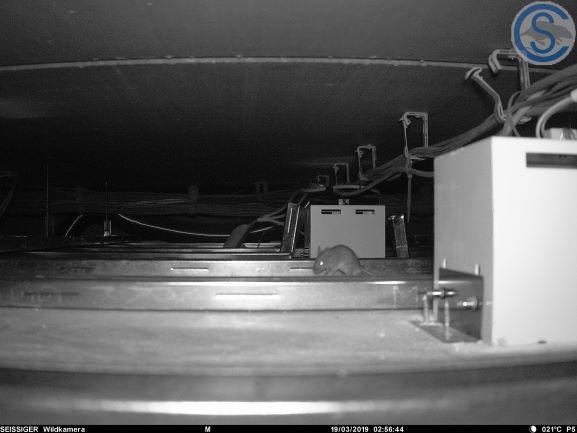 Maus in Zwischendecke
